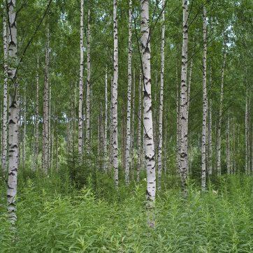 Birkenwald in Südfinnland