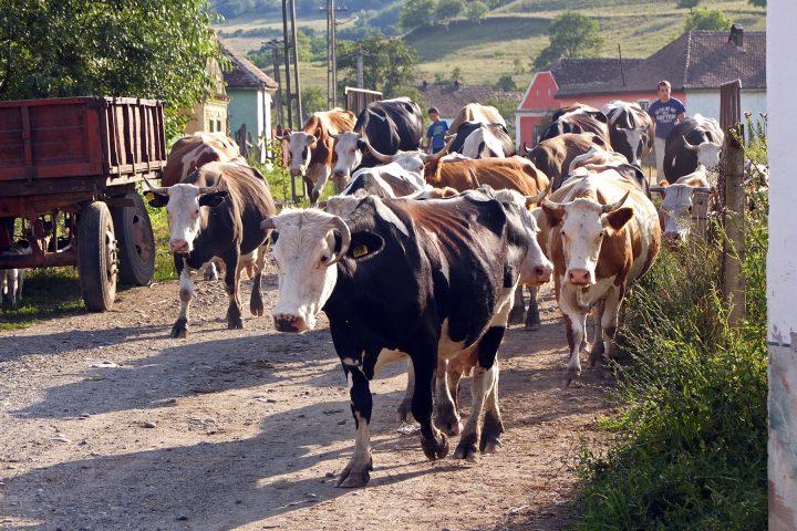 ...dafür gibt es aber jede Menge Kühe...