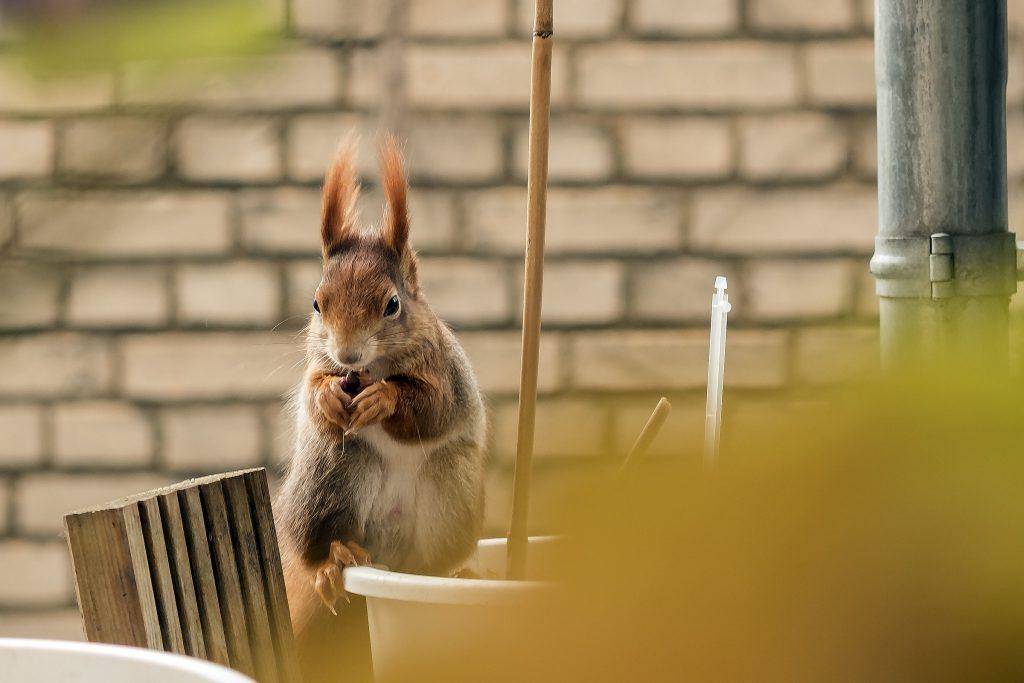 »Ratatosk heißt das Eichhörnchen, das herumspringt an der Esche Yggdrasil.«