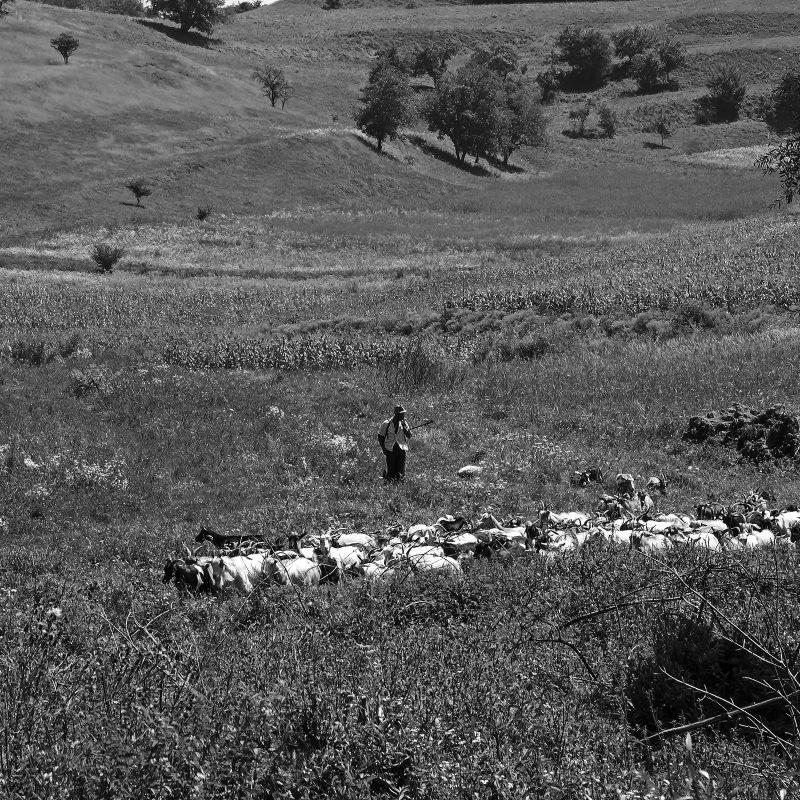 Ziegenherde bei Nemșa / Nimesch (der Hirte hatte beeindruckende Hunde)