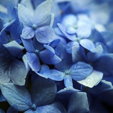 Die blaue Blume (Hortensie sauer)