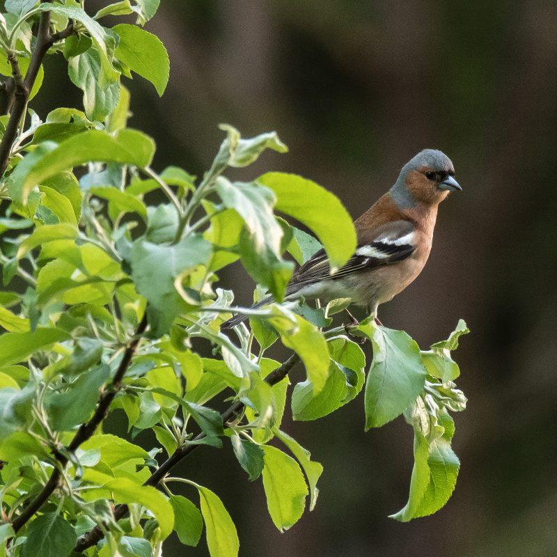 Buchfink im Apfelbaum