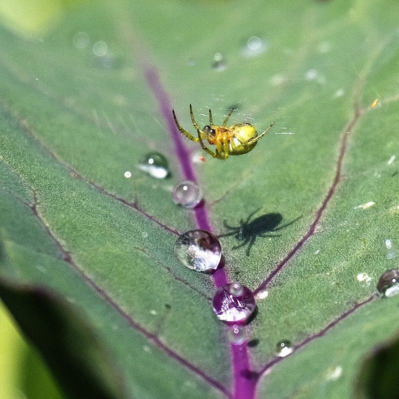Spinne auf Kohlrabi